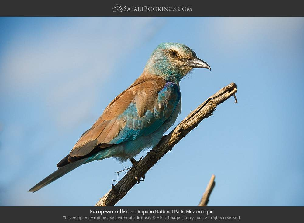 European roller in Limpopo National Park, Mozambique