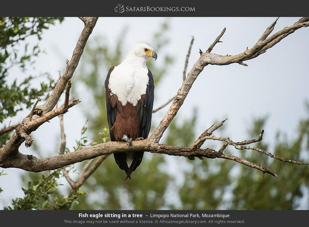 Fish eagle sitting in a tree in Limpopo National Park, Mozambique