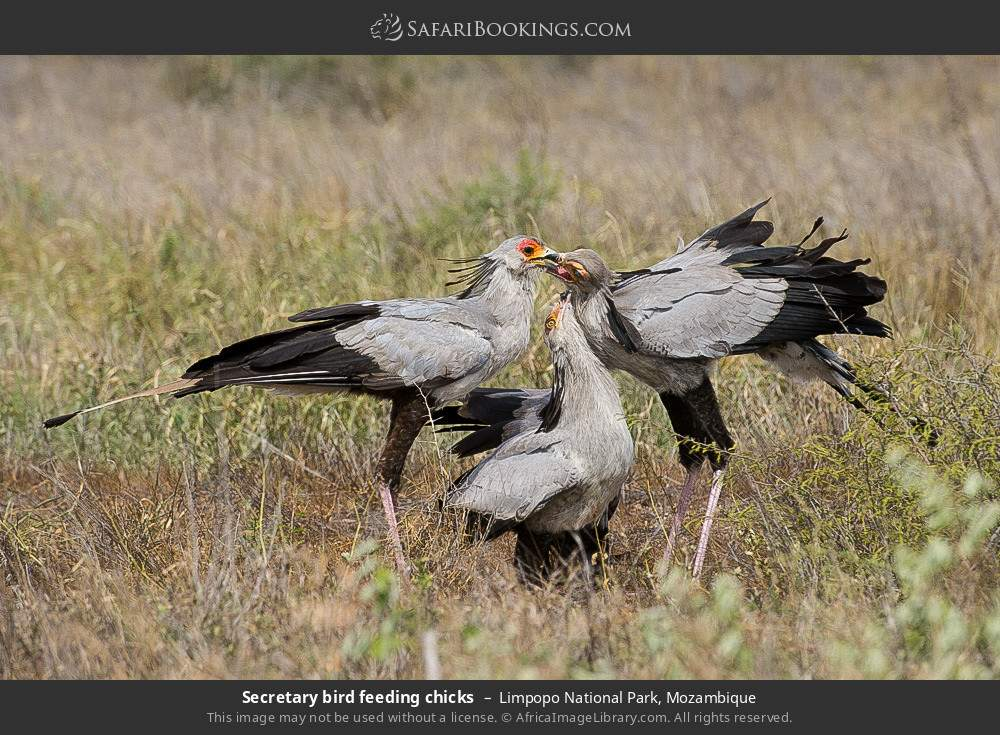 Secretary bird feeding chicks in Limpopo National Park, Mozambique