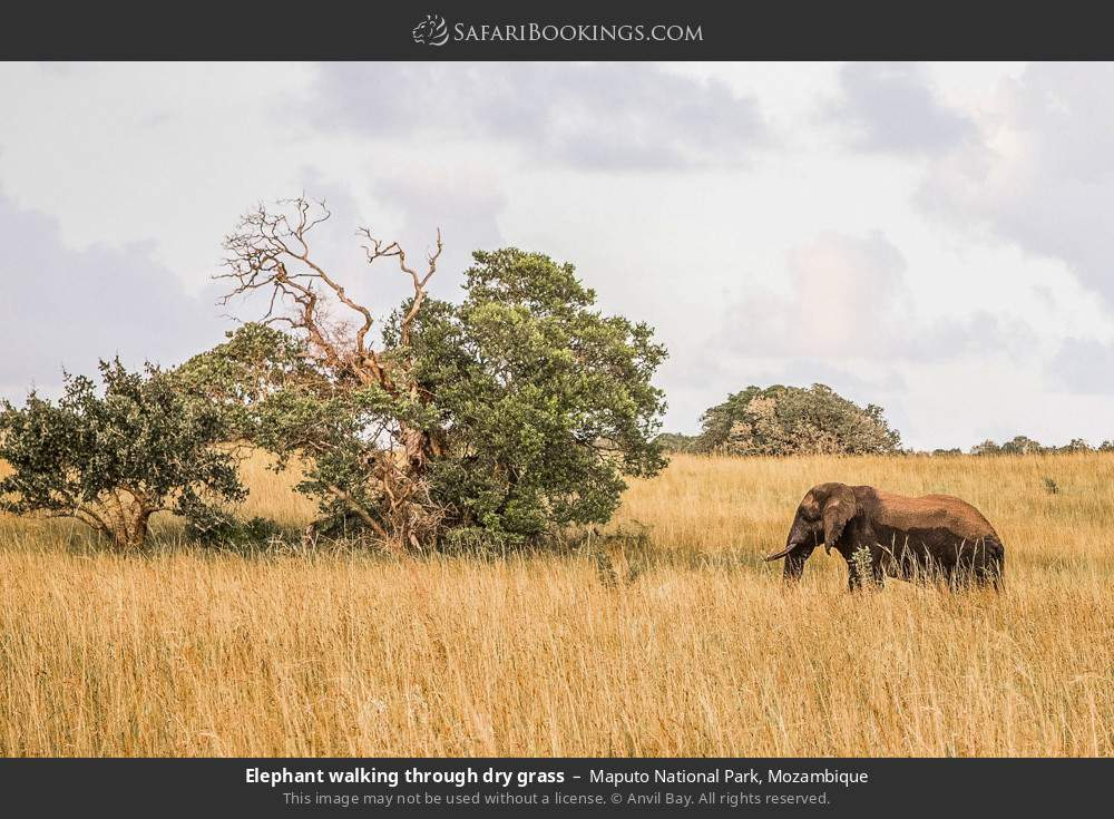 Elephant walking through dry grass in Maputo Special Reserve, Mozambique