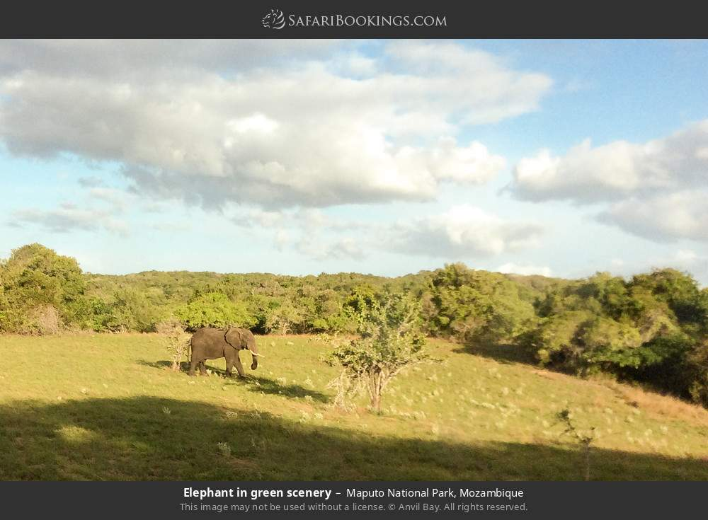 Elephant in green scenery in Maputo Special Reserve, Mozambique