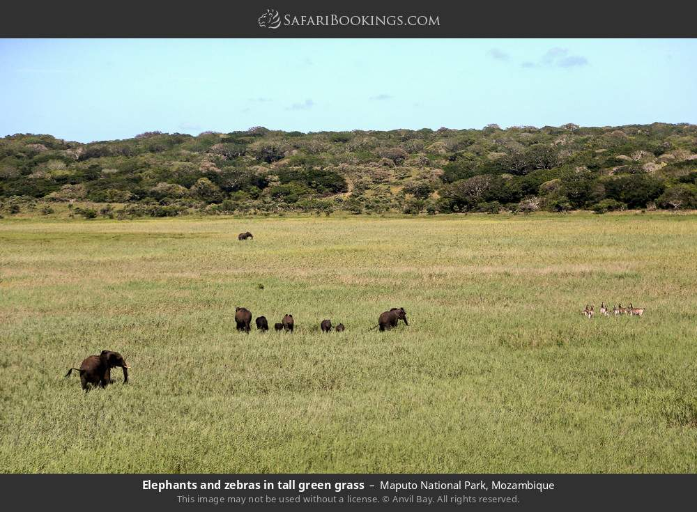 Elephants and zebras in tall green grass in Maputo Special Reserve, Mozambique