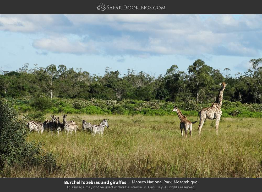 Burchell's zebras and giraffes in Maputo Special Reserve, Mozambique