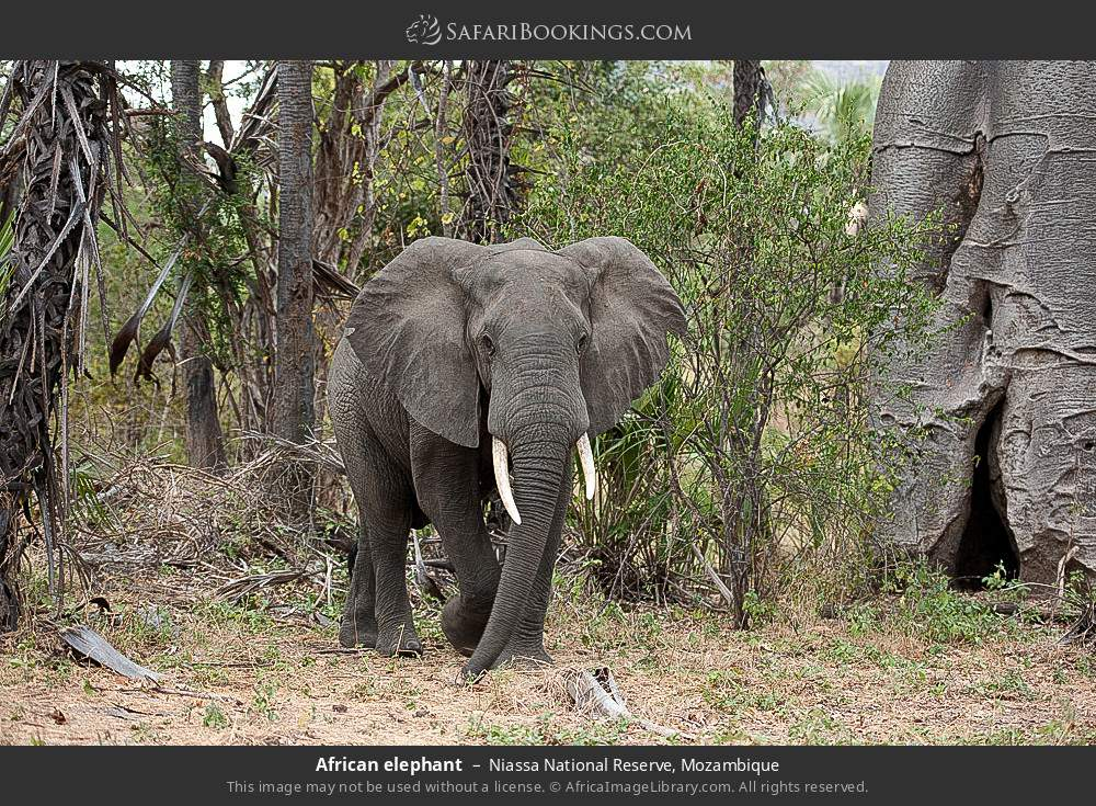 African elephant in Niassa National Reserve, Mozambique