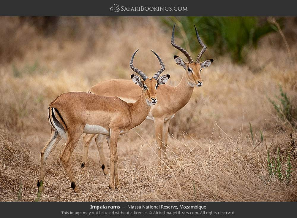 Impala rams in Niassa National Reserve, Mozambique
