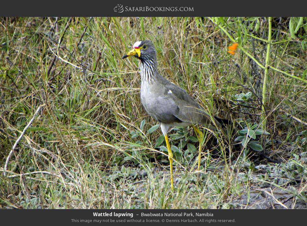 Wattled lapwing in Bwabwata National Park, Namibia