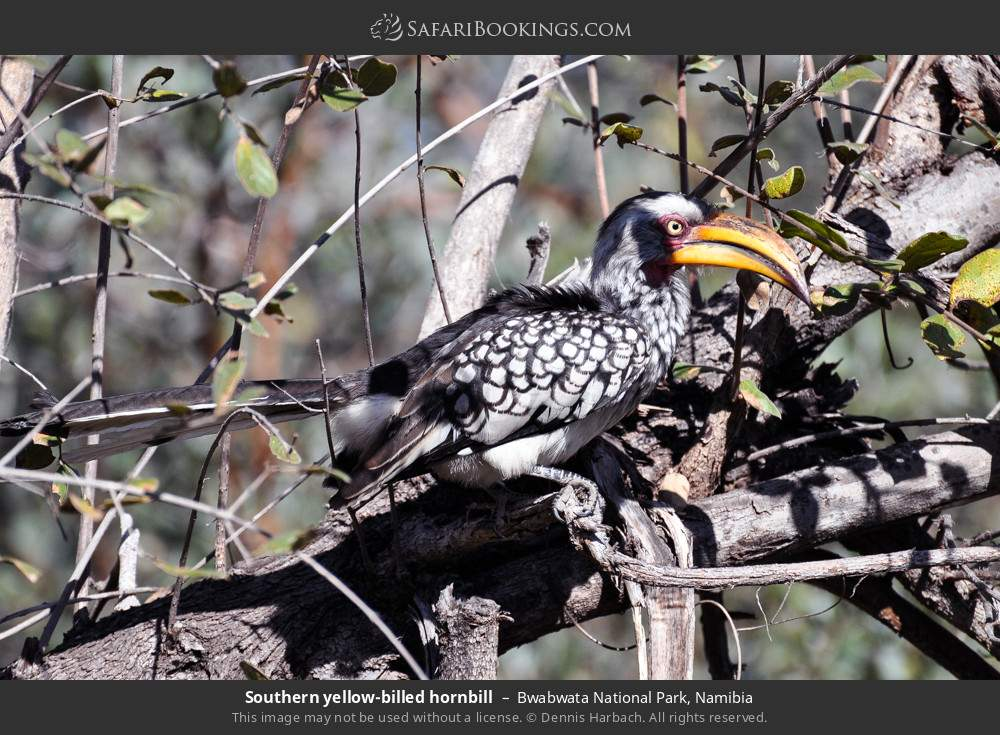 Southern yellow-billed hornbill in Bwabwata National Park, Namibia