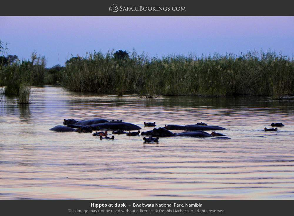Hippos at Dusk in Bwabwata National Park, Namibia