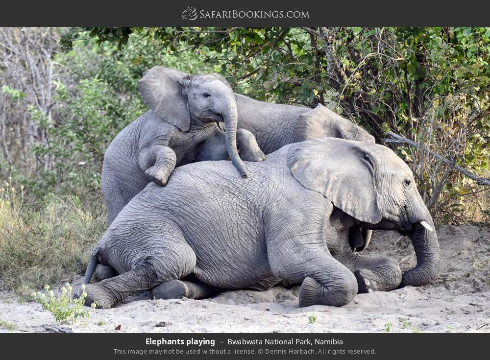 Elephants playing in Bwabwata National Park, Namibia