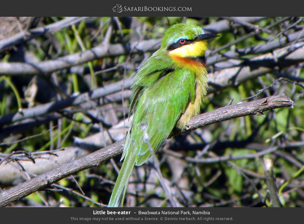 Little bee-eater in Bwabwata National Park, Namibia
