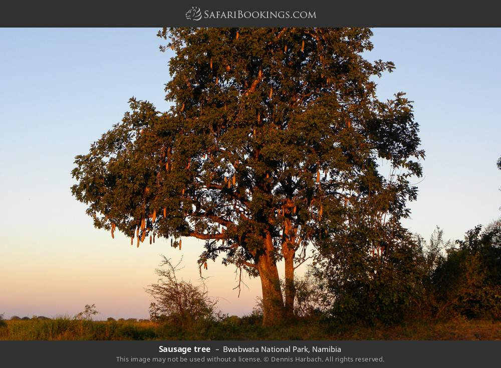 Sausage tree in Bwabwata National Park, Namibia