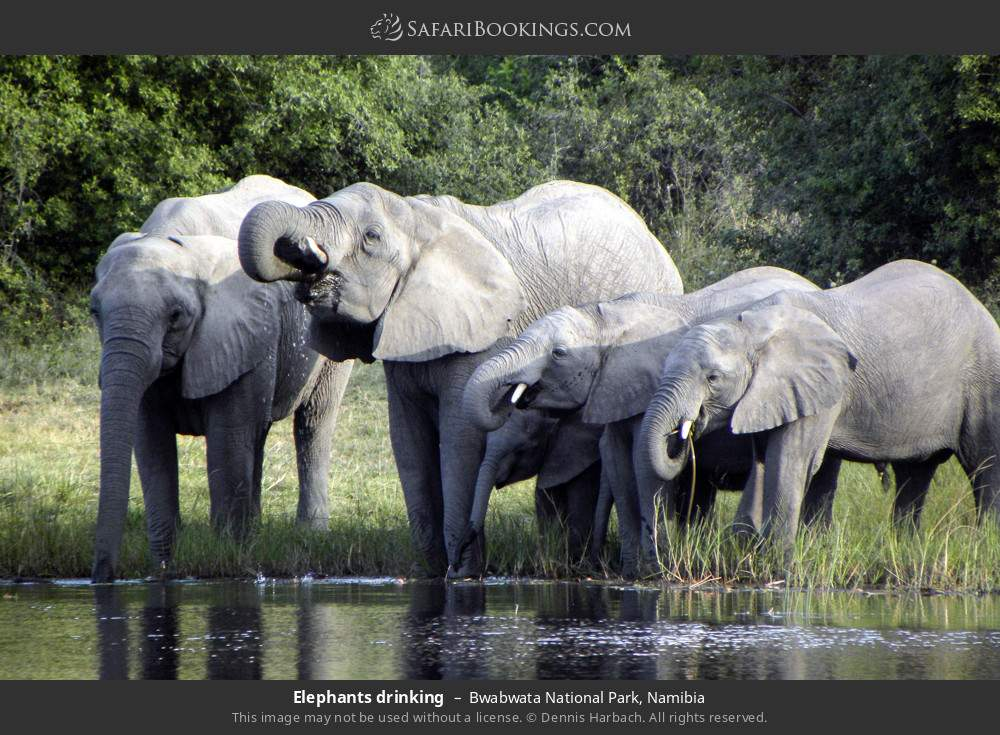 Elephants drinking in Bwabwata National Park, Namibia