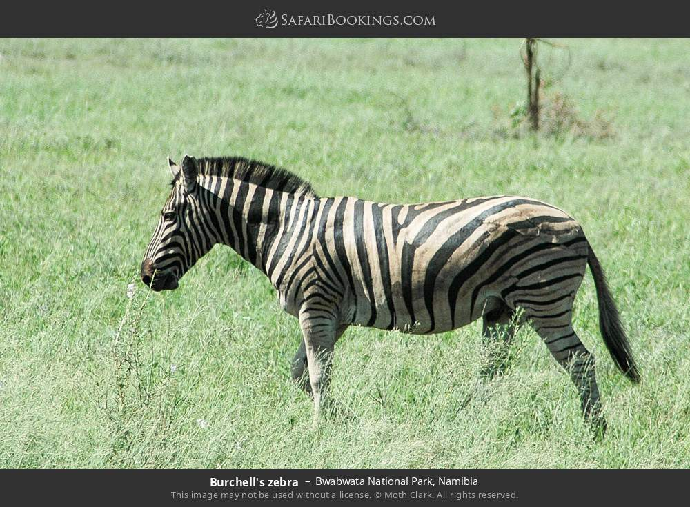 Burchell's zebra in Bwabwata National Park, Namibia