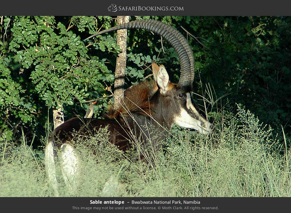 Sable antelope in Bwabwata National Park, Namibia