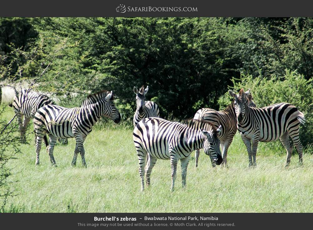 Burchell's zebras in Bwabwata National Park, Namibia
