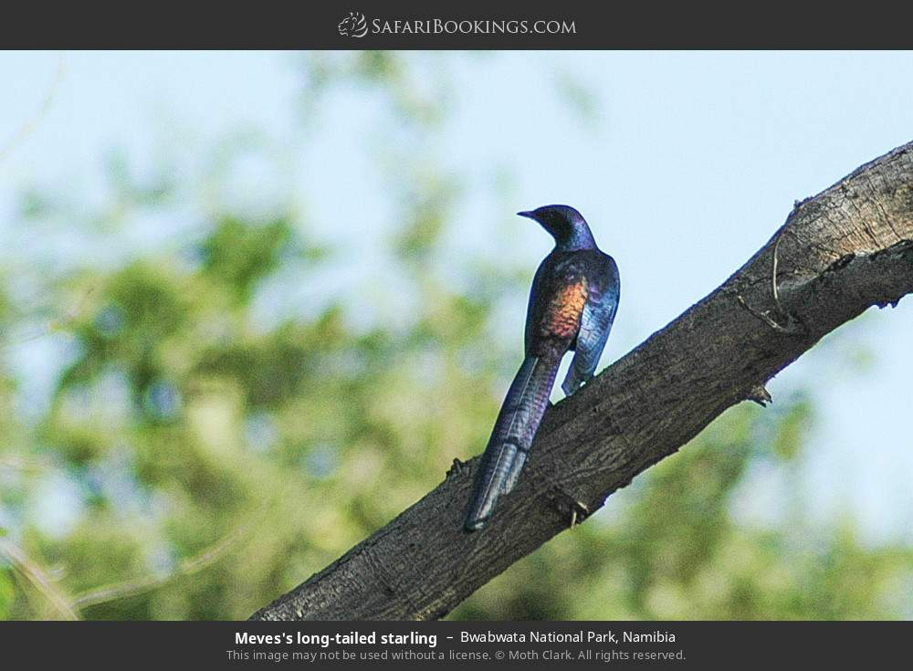 Meves's long-tailed starling in Bwabwata National Park, Namibia