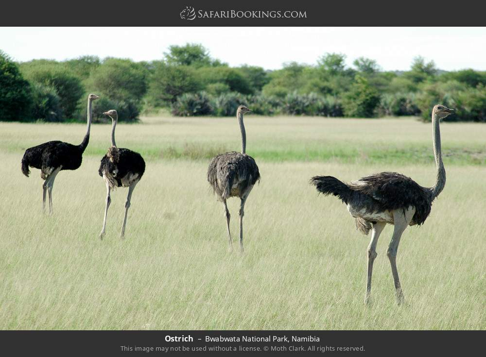 Ostrich in Bwabwata National Park, Namibia