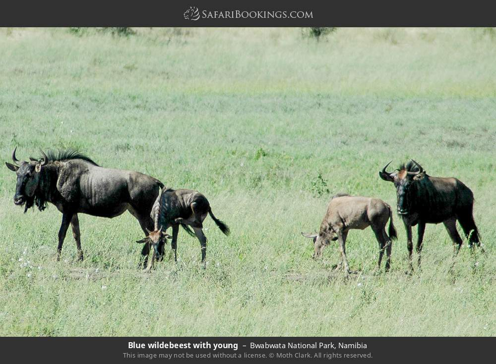 Blue wildebeest with young in Bwabwata National Park, Namibia