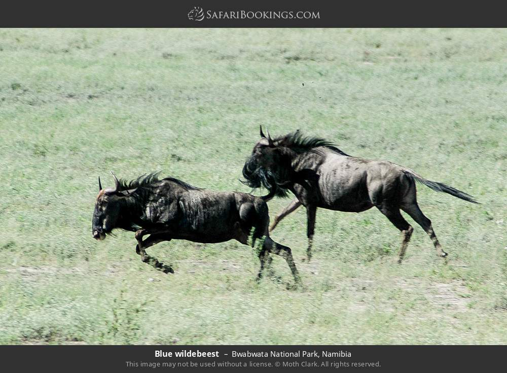 Blue wildebeest in Bwabwata National Park, Namibia