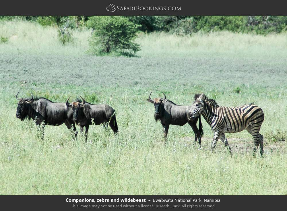 Companions, zebra and wildebeest in Bwabwata National Park, Namibia