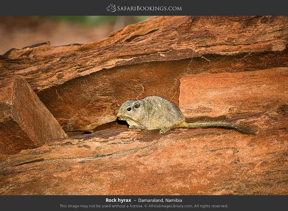 Dassie rat in Damaraland, Namibia