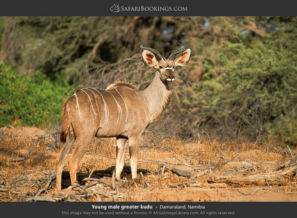 Young male Greater kudu in Damaraland, Namibia