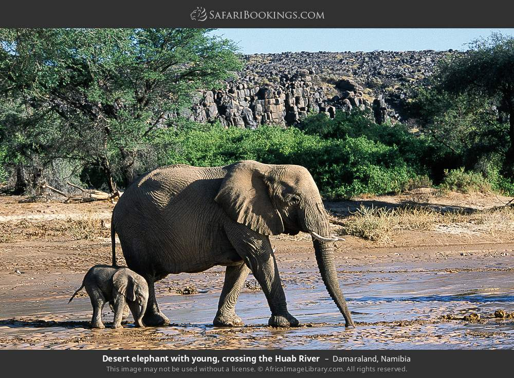 Desert elephant with young, crossing the Huab River in Damaraland, Namibia