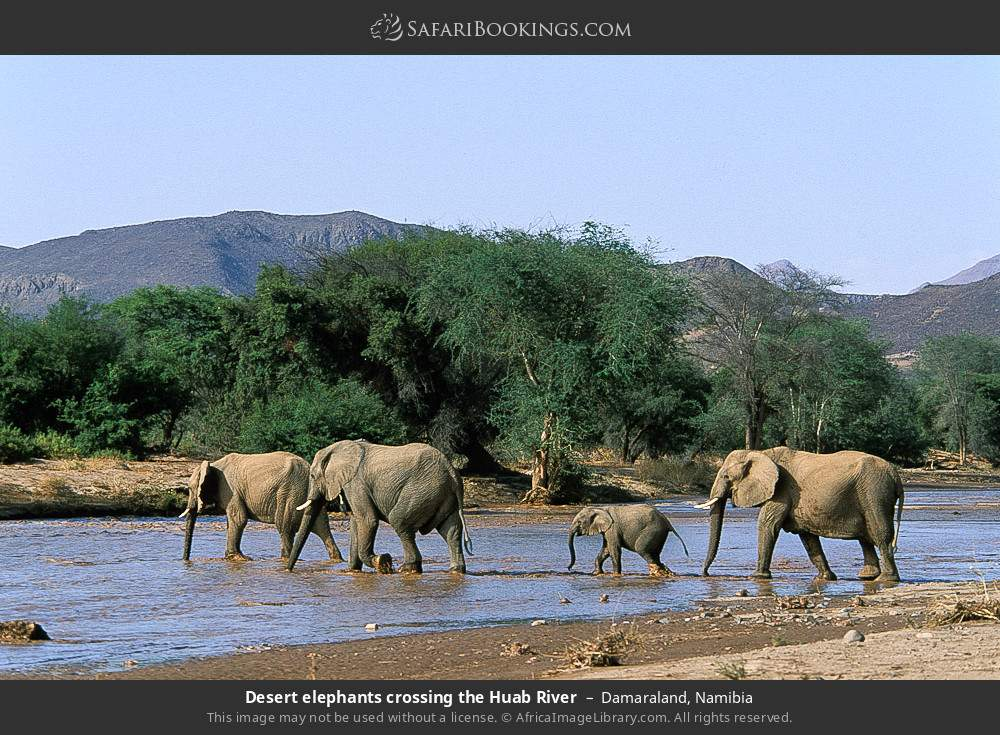 Desert elephants crossing the Huab River in Damaraland, Namibia