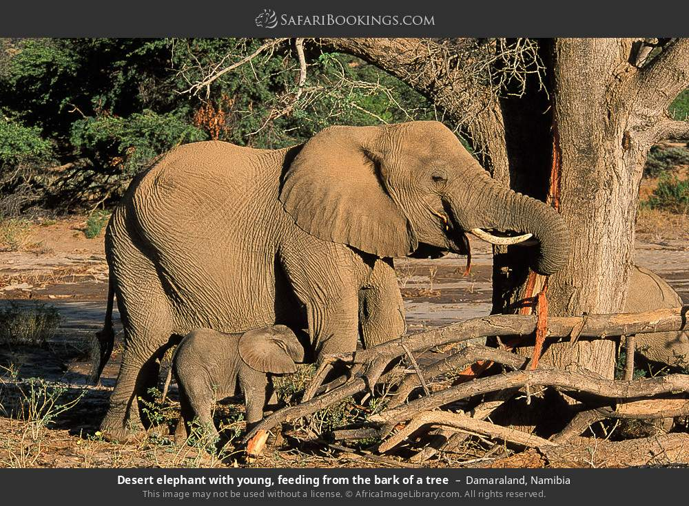 Desert elephant with young, feeding from the bark of a tree in Damaraland, Namibia