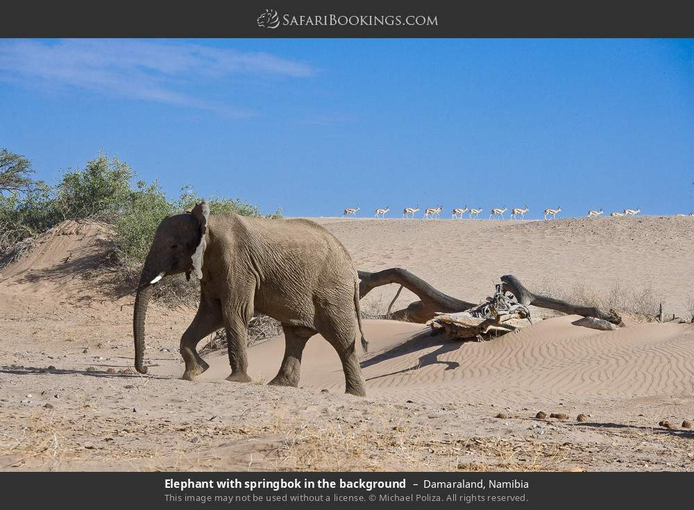 Elephant with springbok in the background in Damaraland, Namibia