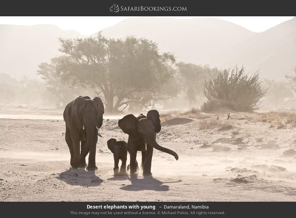 Desert elephants with young  in Damaraland, Namibia