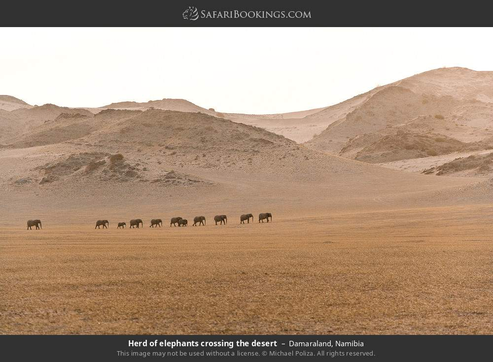 Herd of elephants crossing the desert in Damaraland, Namibia