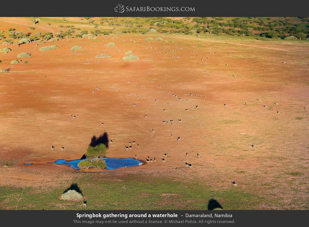Springbok gathering around a waterhole in Damaraland, Namibia