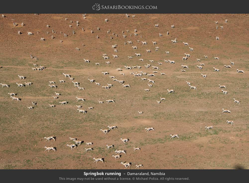 Springbok running in Damaraland, Namibia