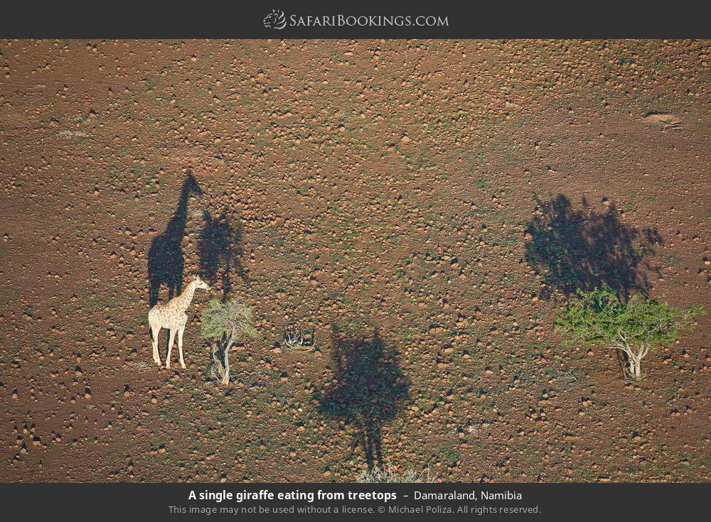 A single giraffe eating from tree tops in Damaraland, Namibia