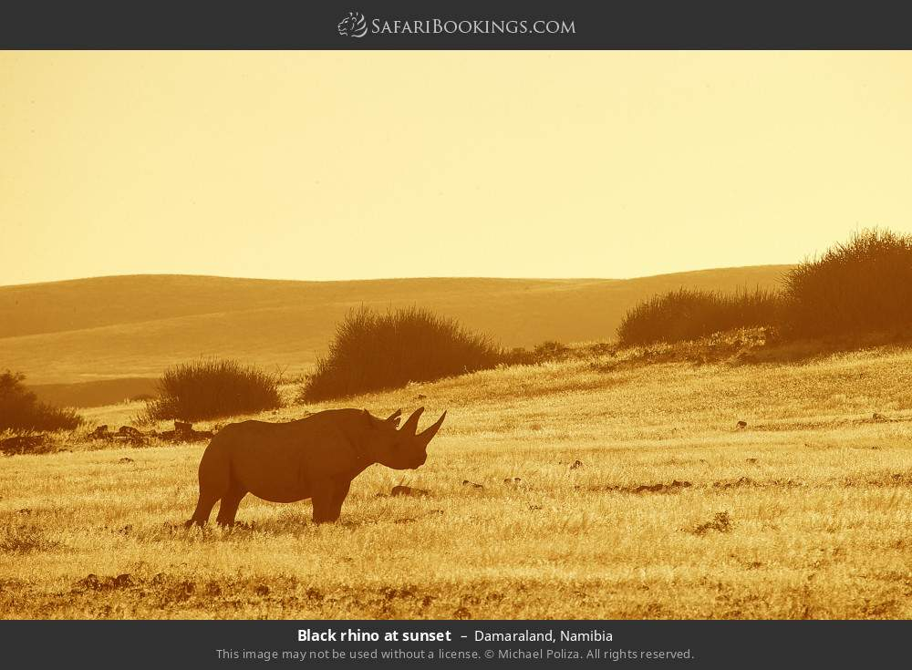 Black rhino at sunset in Damaraland, Namibia