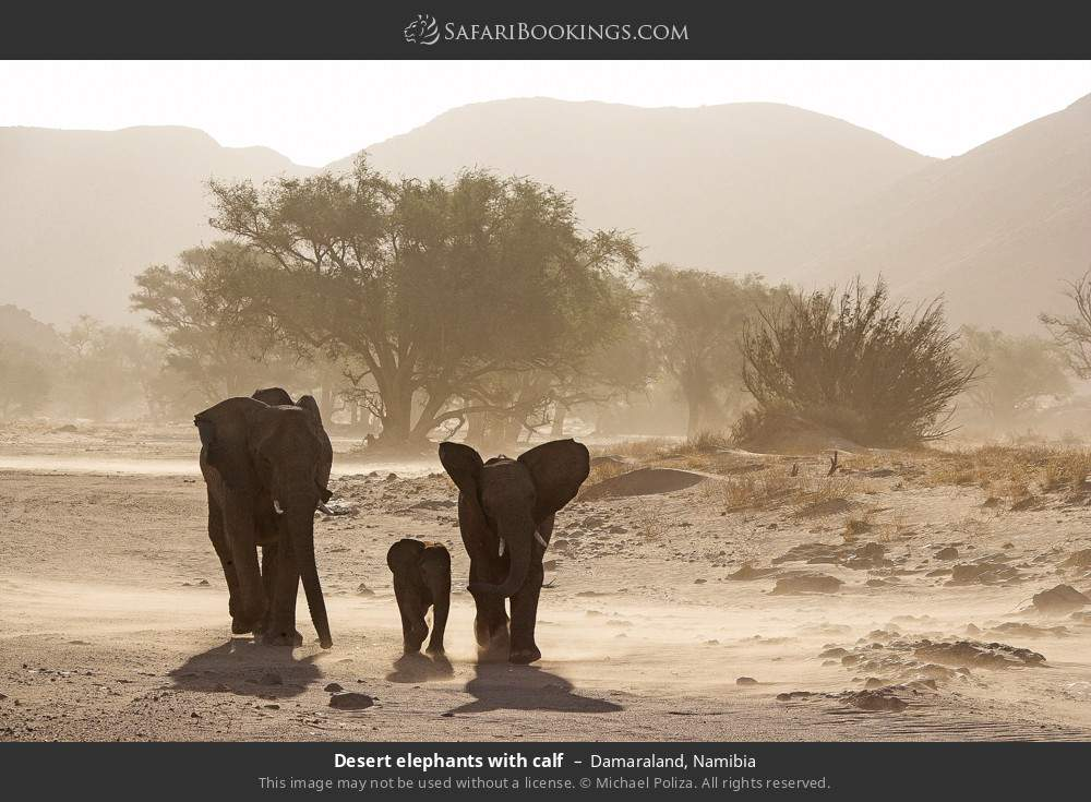 Desert elephants with calf in Damaraland, Namibia