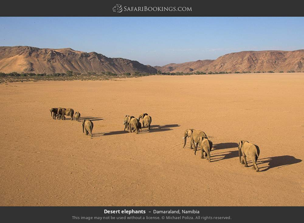 Desert elephants in Damaraland, Namibia