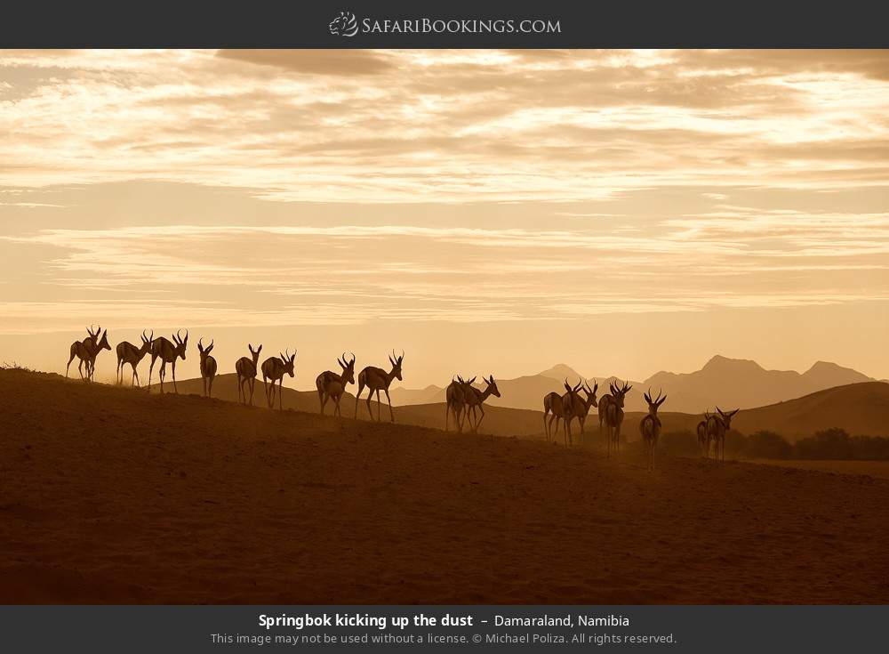 Springbok kicking up the dust in Damaraland, Namibia