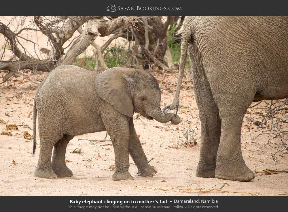 Baby elephant clinging on mom's tail in Damaraland, Namibia