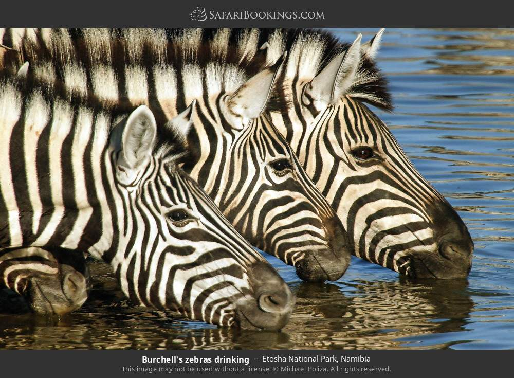 Burchell's zebras drinking in Etosha National Park, Namibia