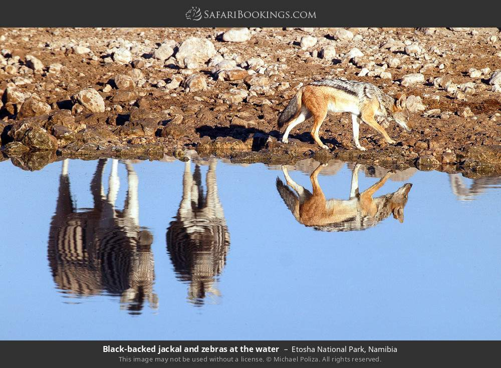 Black-backed jackal and zebras at the water in Etosha National Park, Namibia