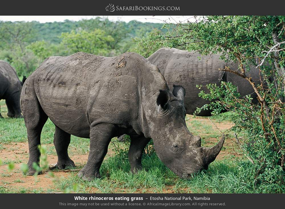 White rhinoceros eating grass in Etosha National Park, Namibia
