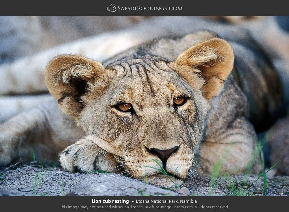 Lion cub resting in Etosha National Park, Namibia