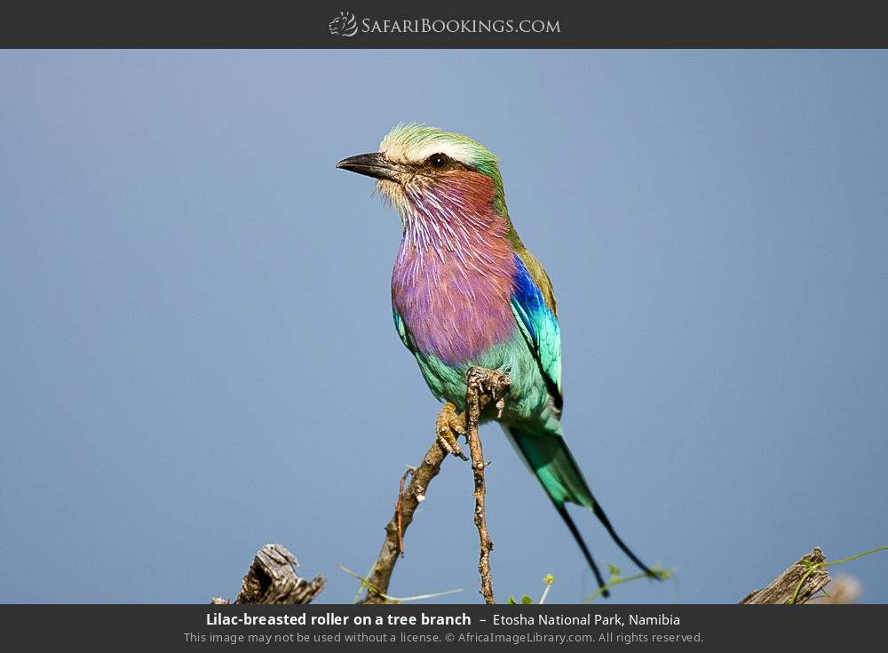 Lilac-breasted roller on a tree branch in Etosha National Park, Namibia