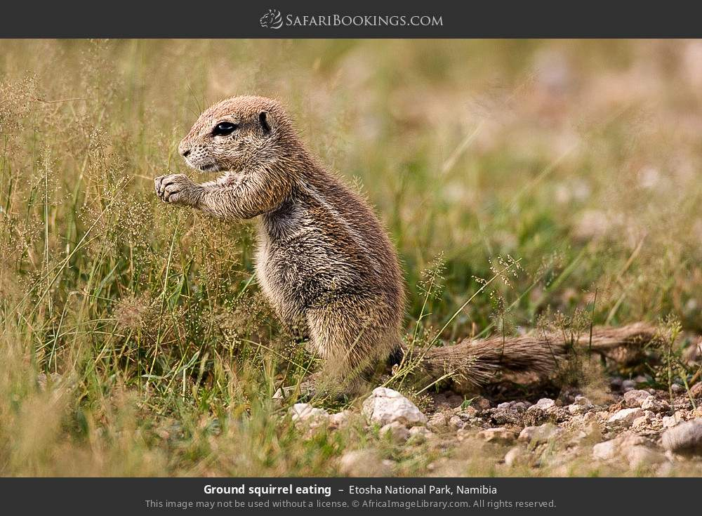 Ground squirrel eating in Etosha National Park, Namibia