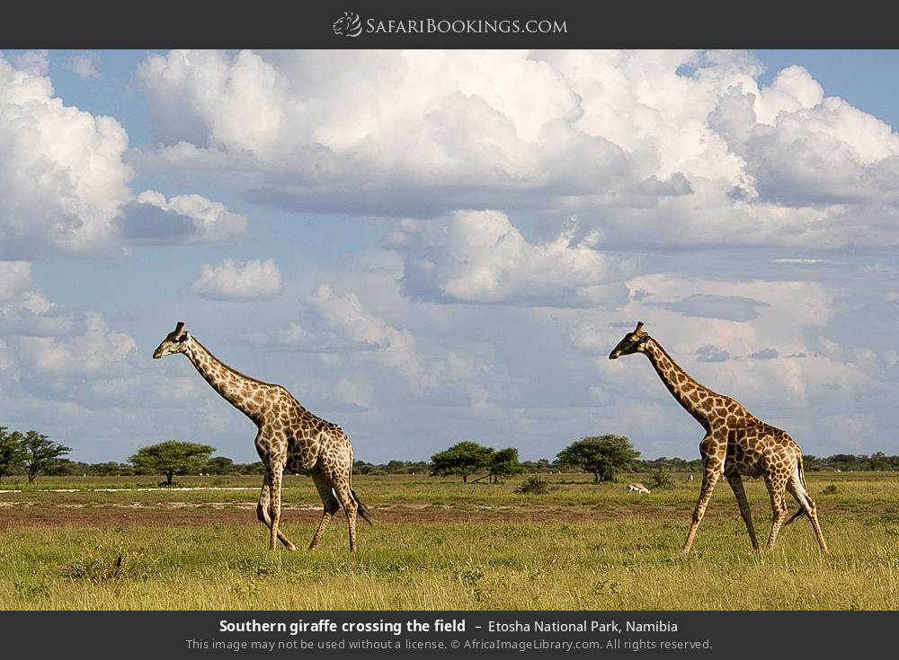 Southern giraffe crossing the field in Etosha National Park, Namibia