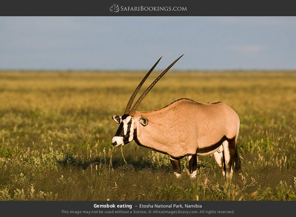 Gemsbok eating in Etosha National Park, Namibia