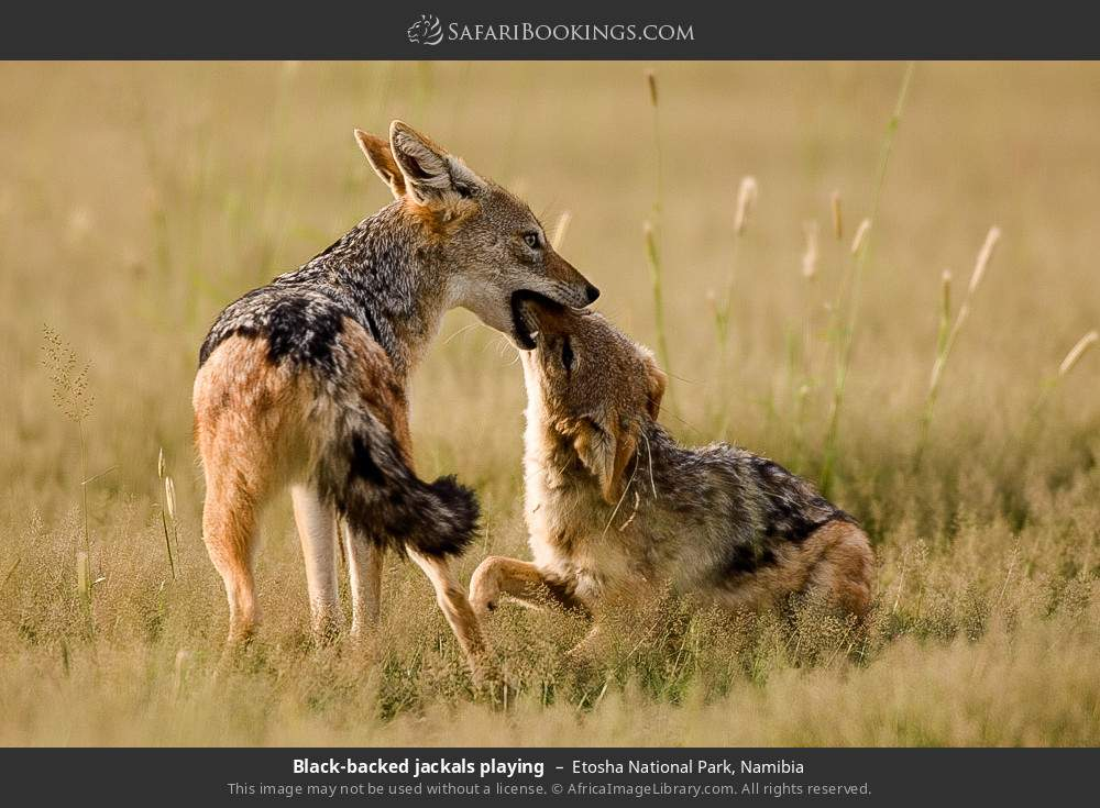 Black-backed jackals playing in Etosha National Park, Namibia