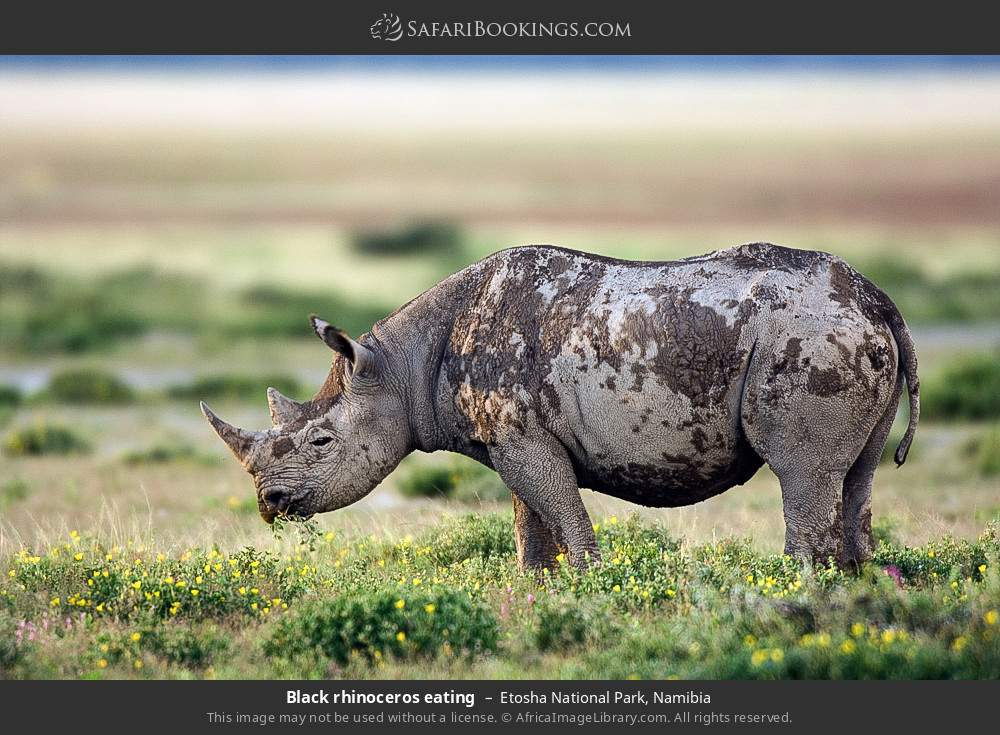 Black rhinoceros eating in Etosha National Park, Namibia